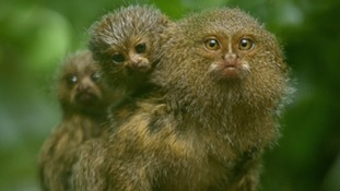 The pygmy marmoset monkeys were born 4 weeks ago at Chester Zoo.