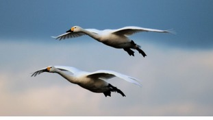 Young swans spell hope for threatened species