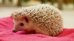 New craze of keeping African pygmy hedgehogs as pets