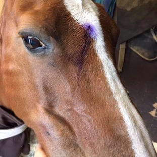 The 13HH pony is 'on the mend' after the vicious attack.