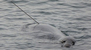 Fears for pregnant seal shot with spear