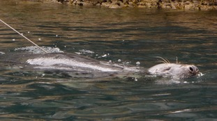 The seal has been spotted off Brixham and Fishcombe Cove.