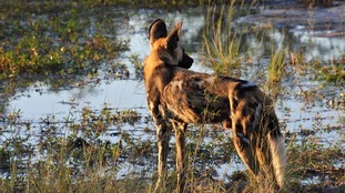 African wild dogs 'use sneezes to vote'