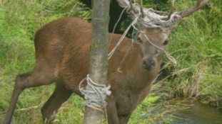 Deer freed after getting tangled in electric wire