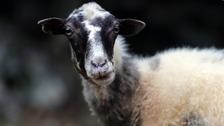 Sheep file