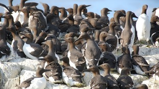Guillemots on the Northumberland coast.