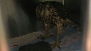 Rare bird of prey rescued from chicken coop