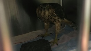 The goshawk is so rare RSPCA are no releasing the location she was found