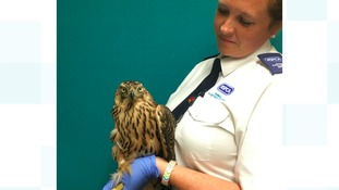 RSPCA animal collection officer Ellie West rescued the goshawk