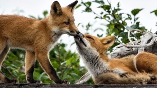 'No foxes harmed' at Bristol's Southmead Hospital