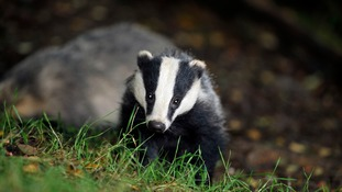 Badger cull to be extended into Wiltshire