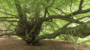 The Witch's Broom Tree, Abinger Roughs, Dorking, Surrey