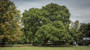 The Gilwell Oak in Epping, Essex.