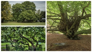 These trees in Deptford, Dorking and Epping have intriguing histories.