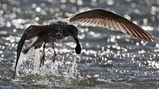 A young seagull feeding in the North Sea as the Met Office issues an amber weather warning for Storm Aileen.