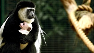 Maxilla, a week old colobus monkey, is cradled by his mother Niammey at London Zoo. Picture date: Friday October 26, 2012.