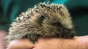 pic of hedgehog