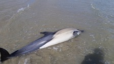 A dead Dolphin has been found washed up on a beach in Guernsey
