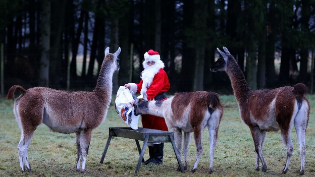 Llamas were among the beneficiaries of Leach's Christmas dinner