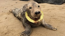 Seal rescued with frisbee snagged around neck