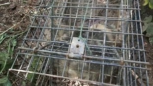 Warning graphic content: Campaigners release distressing badger cull images