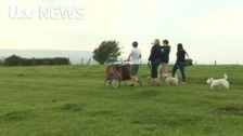 100-mile walk drawing attention to arthritis in dogs