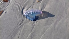 Fifth Portuguese Man O'War found in Guernsey