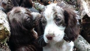 Sick puppies abandoned in Kent woods