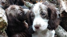 Spaniel puppies left to die in Kent woods