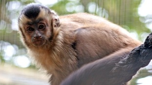 Pepper, the 10-month-old capuchin monkey who died after getting tetanus, possibly linked to flooding at the Looe Monkey Sanctuary.