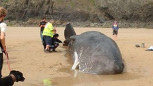 Female sperm whale stranded at Perran Sands in 2016.