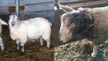 Four lambs attacked in Hawick