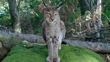 Deal agreed to protect sheep if lynx were reintroduced