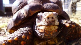 Boris the Red Toed Tortoise was taken from Ouseburn Farm