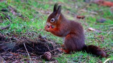 Near extinct red squirrels make comeback in North East