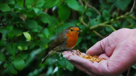 A Robin eats from a viewer's hand