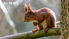 Red squirrels comeback: Spotted in the North East