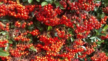 Early Autumn berries