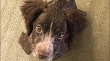 Six poorly springer puppies found dumped in woodland in Kent