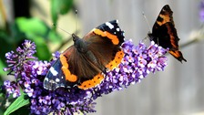 Red Admiral butterfly 'thrives' despite wet summer