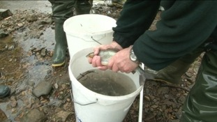 Fish being moved