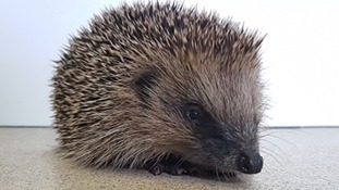 Hedgehog 'kicked like football' by children in Plymouth