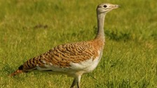 Rare great bustard spotted in Somerset