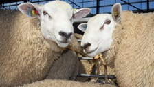 The sheep are Texel (pictured)