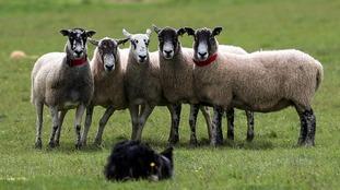 Sheep or nurses?