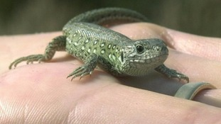 Rising number of stowaway Lizards migrating to Midlands