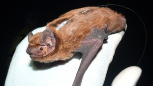 Female Leisler's bat