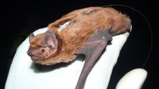 Female Leisler's bat