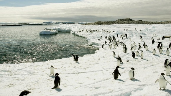 Adelie penguins walk on the ice at Cape Denison in Antarctica