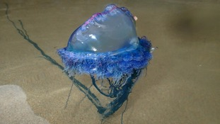 Portuguese men o' war wash up on Dorset beaches